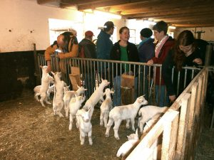Kleine Ziegenkinder bei der Käsereibesichtigung